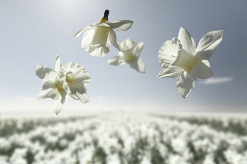 532723 Flower Power Mount Hood Claire Droppert F957E597E05Ae1391088A46E5Fde4496